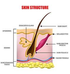Skin structure vector