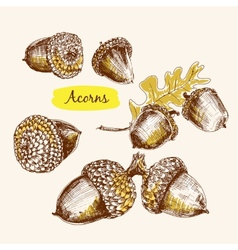 Acorns vector