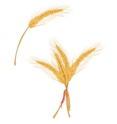 Wheat as agriculture symbol vector