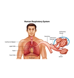 Respiratory system of humans vector