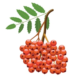 Branch of mountain ash tree vector