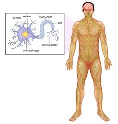Human neuron vector