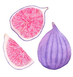 Common figs watercolor whole fig part and slice vector
