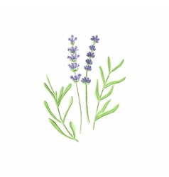 Lavender watercolor lavanda on the white vector