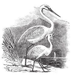 Great egret alba engraving vector
