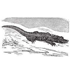 American alligator engraving or alligator vector