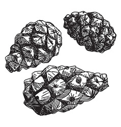 Set of pine cones black contour on a white vector