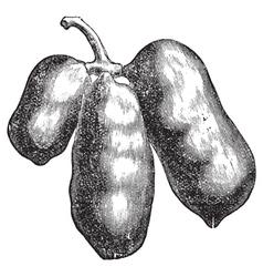 Common pawpaw engraving vector