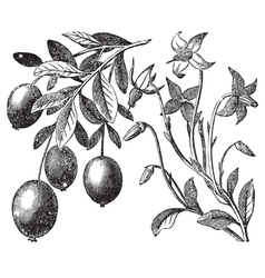 Cranberry vintage engraving vector