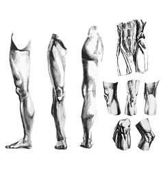 Leg knee abdomen muscles vector