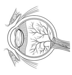 Anatomy of the human eye vector