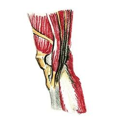 Knee muscles vector