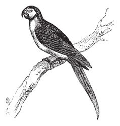 Macaw vintage engraving vector