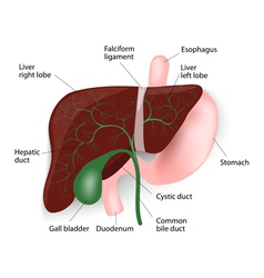 Liver gallbladder esophagus stomach and duodenu vector