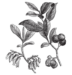 Huckleberry engraving vector