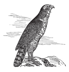 Northern goshawk vintage engraving vector