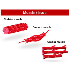 Types of muscle tissue vector