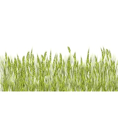 Green wheat vector