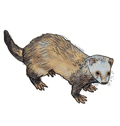 Drawing of ferret vector