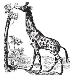 Old giraffe engraving vector