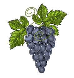 Red wine grapes in vintage engraved style vector