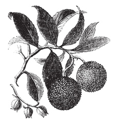 Strawberry tree vintage engraving vector