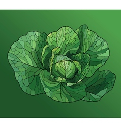 Heads of cabbage close up vector