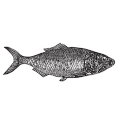 Shad river herring engraving vector