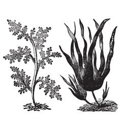Pepper red algae engraving vector