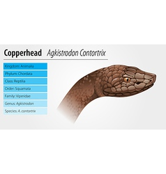 Copperhead snake vector