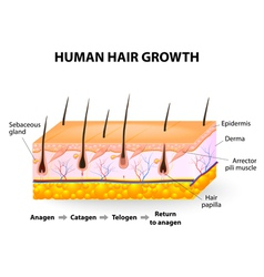 Human hair growth vector