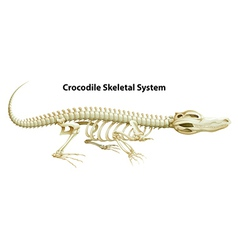A crocodiles skeletal system vector