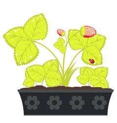 Strawberry in flower pot vector