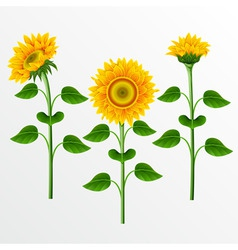 Collection of yellow sunflowers on the white backg vector