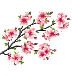 Cherry blossoms branch japanese tree sakura vector