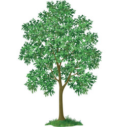 Maple tree and green grass vector