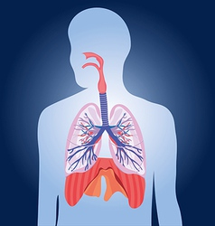 Respiratory system lungs human body vector