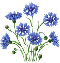 Blue cornflowers bunch vector
