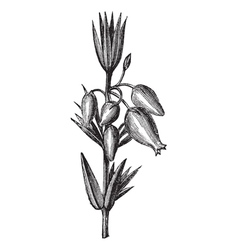 Bell heather vintage engraving vector