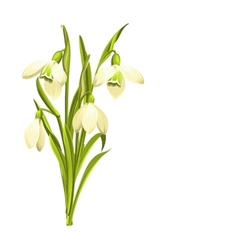 Snowdrop flowers vector