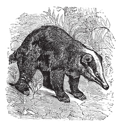Hog badger vintage engraving vector