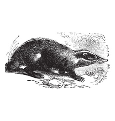 European badger vintage engraving vector
