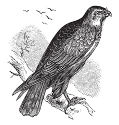 Common buzzard raptor engraving vector