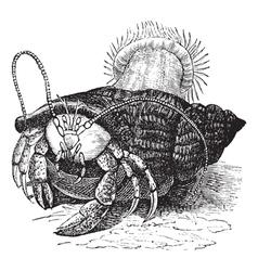 Hermit crab vintage engraving vector