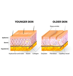 Collagen and elastin skin aging vector