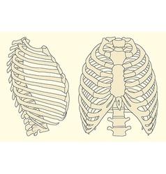Human rib cage vector
