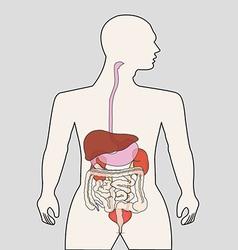 Organ system vector