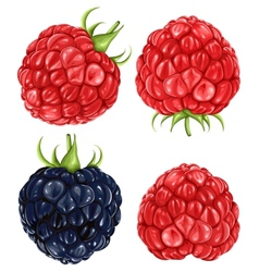 Raspberries  blackberry vector