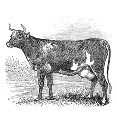 Cunningham cattle vintage engraving vector
