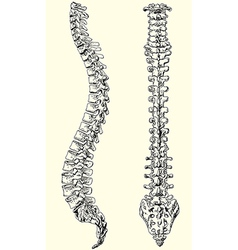 Human spine vector